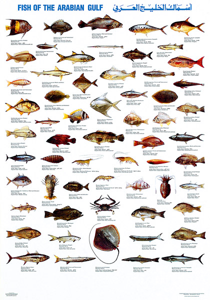 Arabian gulf fish species 2012 patriot for Types of fish in the gulf of mexico