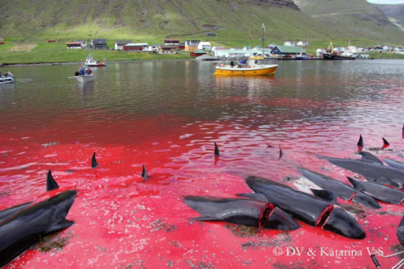 Danish Pilot Whale Slaughter 2016.png