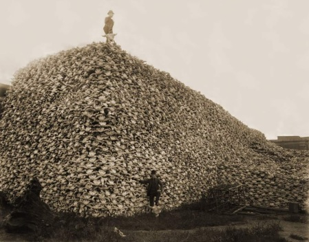 buffalo skulls piled